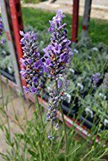 GROWING LAVENDER FOR PROFIT - Starting a Lavender Farm