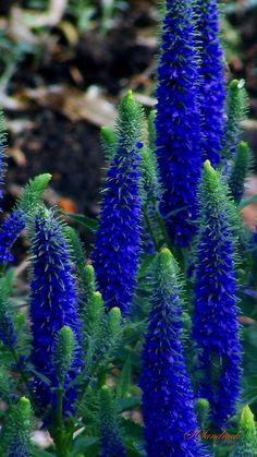 """True Blue"" by Silvia Sandrock"