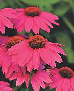 "CONEFLOWER PowWow Wild Berry Echinacea purpurea 'PowWow Wild Berry' Height:	20-24"" Spread:	18-24"" Flowers:	Deep Rose-Purple to Pink, 3-4"" Blooms Blooms:	4-6 weeks, starting late July Zone:	3-8 Additional Information: Deadhead to produce more blooms. Try planting with Artemisia, Daylily, Perennial Grasses. Full sun."