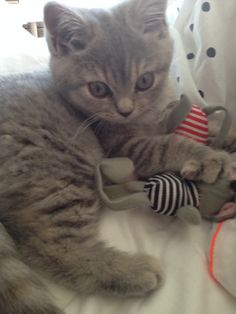 Please don't take my toys #kitten #britishshorthair #queenelsa #cat