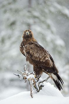 Golden Eagle - more seldom to Denmark wit only 3-4 breeding couples nationwide. (All in Jutland) I have seen it on 4 places in DK... Skagen, North of Djursland, Lille Vildmose and Hansted... So it is here. But we are waiting and hoping for a success story likewise the story of the sea eagle in DK.