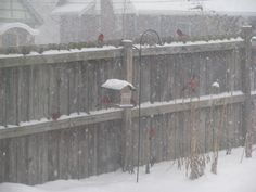 Cardinals gather in the snowy backyard