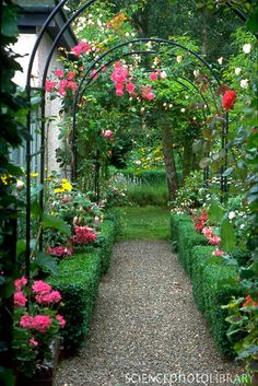 climbing roses on arches