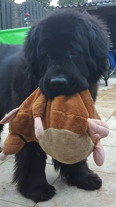 """my Berner loves stuffed animals - and even the """"tuff"""" ones are destroyed in under 5 minutes"""
