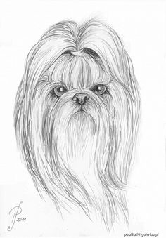 I'm going to try and draw Daizie; this Shih Tzu looks mean.