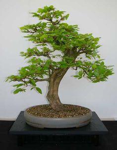 jadebaum portulacaria afra als bonsai baum bonsai b ume pinterest asiatischer garten. Black Bedroom Furniture Sets. Home Design Ideas