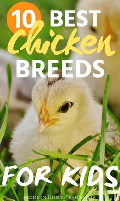 Looking for the best chicken breeds for kids? These friendly, gentle chickens lay plenty of colorful eggs and make a great addition to your family! Easy Chicken Coop, Diy Chicken Coop Plans, Portable Chicken Coop, Building A Chicken Coop, Fresh Chicken, Chicken Eggs, Chicken Ideas, Chicken Life, Chicken Houses