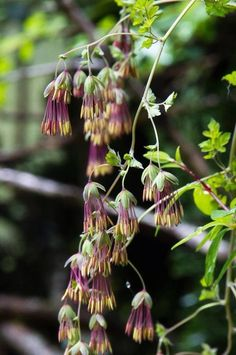 Thalictrum cultratum by naomial