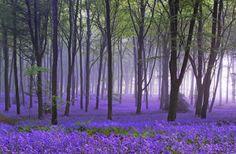 bluebells Forest of Dean