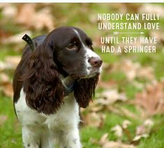 Springer Spaniel - Awwwww