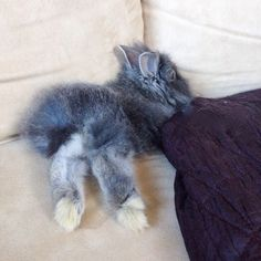 Lionhead Bunny Feet