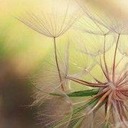 Glasbild Dandelion Harmony