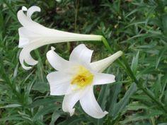 Công dụng chữa bệnh của cây hoa bách hợp