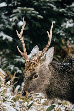 Sika Deer   Shiretoko - Hokkaido - Japan   Simon Dubreuil   Flickr