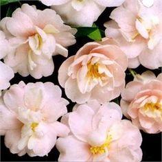 Camellia sasanqua Paradise Audrey