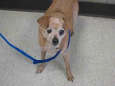 PRINCESS  Pet ID: A1371203  Sex: S Age: 7Years Color: TAN  Breed: CHIHUAHUA SH - MIX  Kennel: 145
