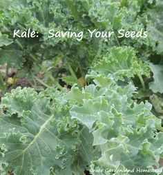 Kale: saving your seeds. Walks through the entire process and gives some helpful tricks.