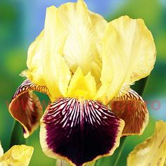 Bulbi Iris Nibelungen (Stanjenel)
