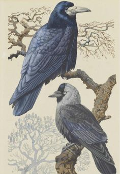 Charles Frederick Tunnicliffe (1901-1979) Rook and Jackdaw, pencil, watercolour and bodycolour, 24,8 x 16,5 cm.