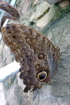 """Photo """"OwlButterfly"""" by Insects, Owl, Butterfly, Animals, Animales, Animaux, Owls, Animal, Animais"""