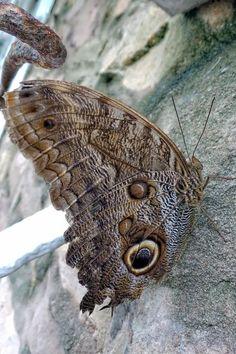 """Photo """"OwlButterfly"""" by Judoon101"""