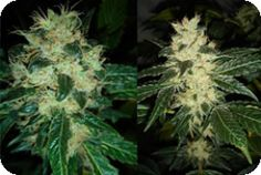 No more searching for clones of this plant – Resin Seeds now delivers it in seed form and, even better, they're feminised (talk about a win-win situation!). Sour P is a cross between the iconic Sour Diesel and High Performance 13 (aka HP13). Read more: http://www.cannabis-seeds-store.co.uk/feminised-seeds/resin-seeds/sour-p-feminised-seeds/prod_598.html#ixzz2z4JnloAs