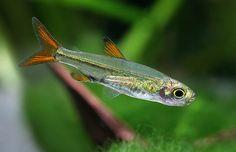 nano tank fish - Jellybean Tetra, Ladigesia roloffi - Google Search