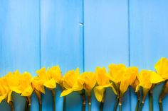 yellow daffodils spring easter background