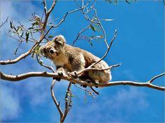Der Koalabär aus Australien