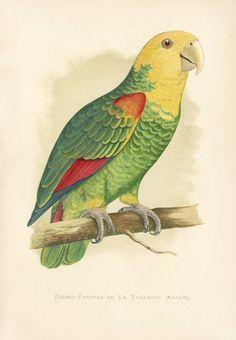 W.T. Greene Antique Parrot Prints 1884
