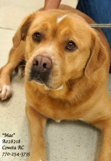 "****EXTREMELY URGENT! •Retriever Mix •SPAYED Female •5 years •Weight: 75 lbs •ID: A028218 • ""Mae"" •Vaccinated, Heartworm POSITIVE, Spayed •Housetrained, Good with other dogs (may be best in a home with a non-alpha female) COWETA COUNTY ANIMAL CONTROL TO ADOPT THIS PET: 770-254-3735 ~ 91 Selt Road, Newnan, GA. This gorgeous lady is sad and depressed. Housetrained She walks right beside you on the leash....never tugging, pulling or jumping."