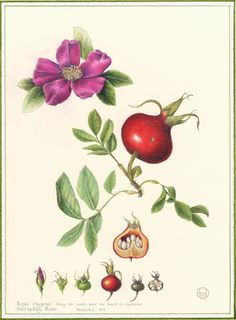 Rose. From the collection of botanical illustrations of flowers by Wendy Hollender.