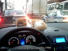 Persian Cat's Day Out