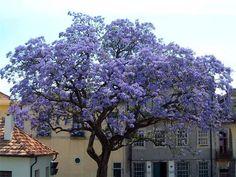 Paulownia albero