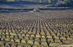 Penedes area vineyards in wintertime, Catalonia.