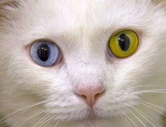 Speedy was born with bi-coloured eyes - one is blue and the other is gold