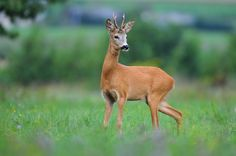 Roe deer by Uros Poteko on 500px