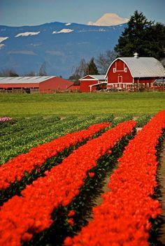 Tulips in the Skagit Valley, Washington. Photo by Patrick Robinson