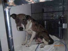 GUINEA is an adoptable Catahoula Leopard Dog Dog in Sanford, FL.  ...