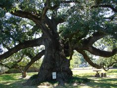 Calcasieu Parish: The Sallier Oak, one of Louisiana's oldest and largest trees. / by Sandra Scott