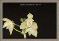 Koellensteinia altissima