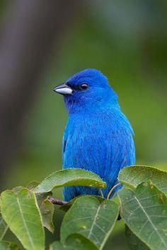 very blue bird