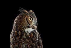 Fotografie: Eulen-Portraits von Brad Wilson - detailverliebt.de