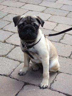 This is the cutest pug I have ever seen - besdies my Henry of course!