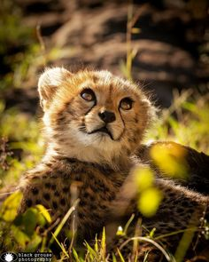 Baby Animals, Cute Animals, Mom In Law, Cheetahs, Leopards, Big Cats, Animals Beautiful, Lions, Africa