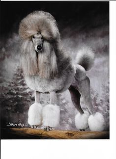 Beautiful Standard Poodle puppies, lacylanepoodles.com Show Photos/Results