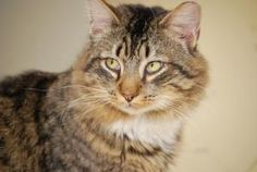 Bobbi is an adoptable Maine Coon Cat in Bensalem, PA. Bobbi is a beautiful Maine Coone Tabby Mix�. �She reminds us of a bobcat and that is how she got her name! �She is a big girl very stauesque!�� Sh...