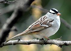 White-Crowned Sparrow. Very handsome sparrow, often found in groups on the ground under feeders or near brush piles. May be seen year-round in Victoria though more common in summer.
