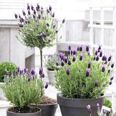 French Lavender Anouk is a drought-tolerant variety that produces lovely, light and dark purple blooms. It emits the wonderful lavender scent and is perfect for container gardening.