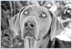The Sandton SPCA in Marlboro in a non-profit organisation supporting local communities with animal welfare. Adoption Process, Animal Welfare, Labrador Retriever, Pitbulls, Pets, Animals, Labrador Retrievers, Animales, Animaux